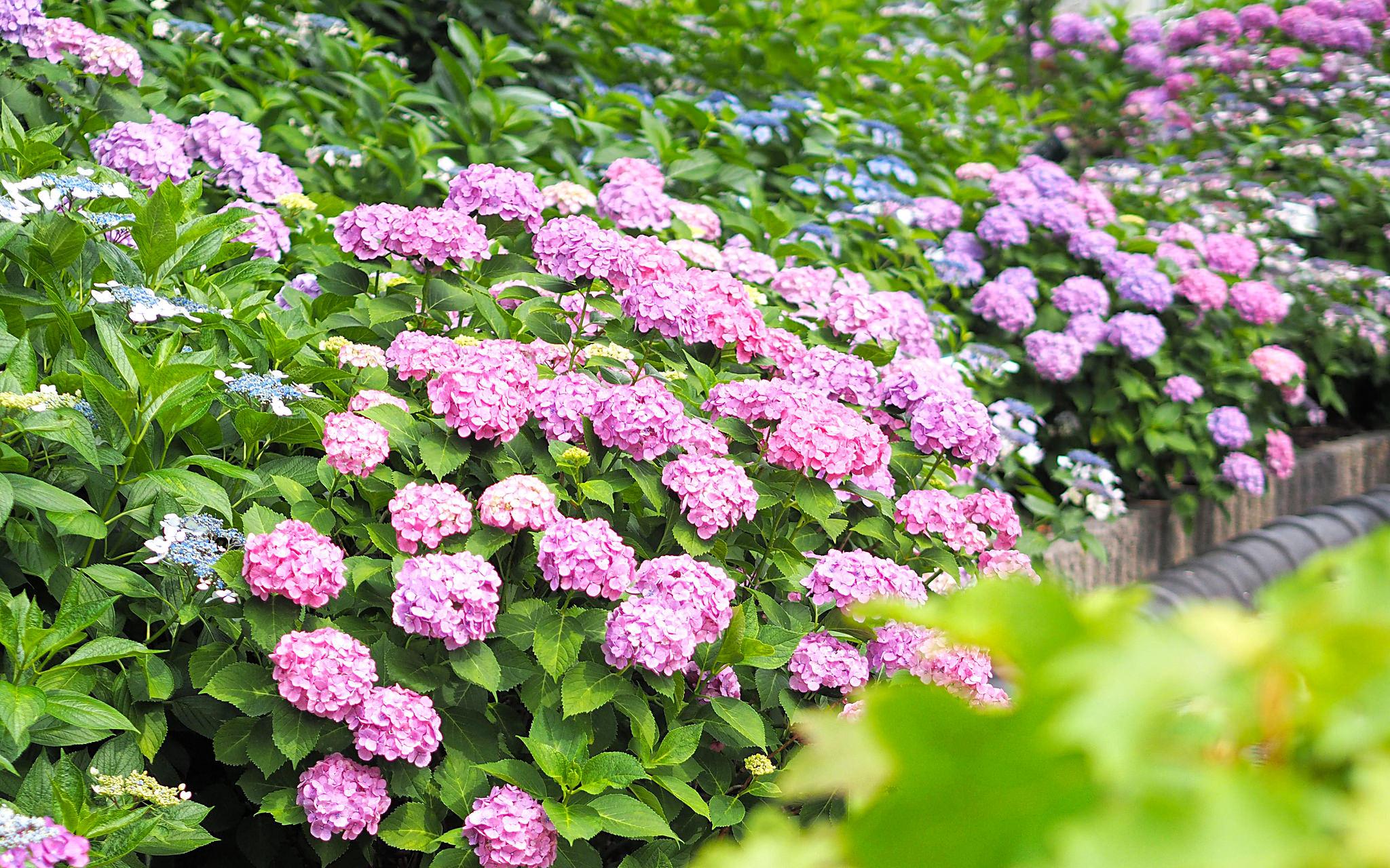 Faire pousser des hortensias mobilier de jardin for Blog amenagement jardin